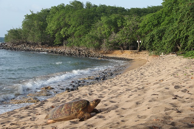 Tortues Marines Guadeloupe