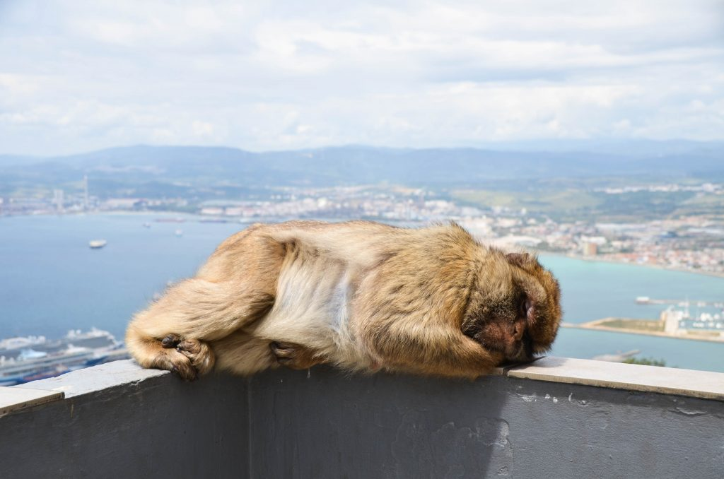 Singe sauvage à Gibraltar