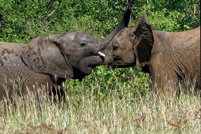 elephant afrique du sud