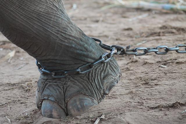 elephant mal traité thailande